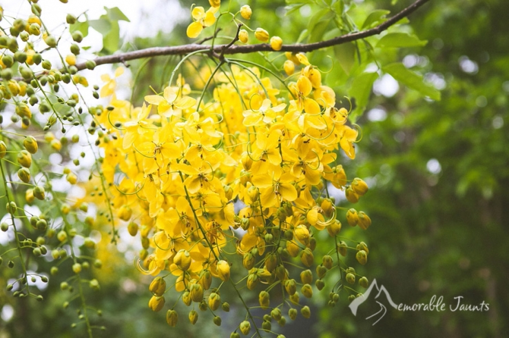 Beautiful colors of the tropics chicago wedding and portrait yellow hanging flowers in nagarhole national park mightylinksfo